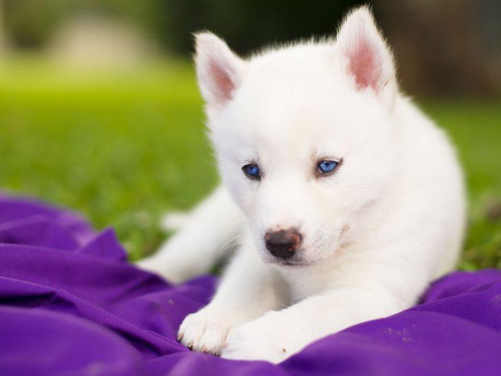 husky blanco con pastillas moradas