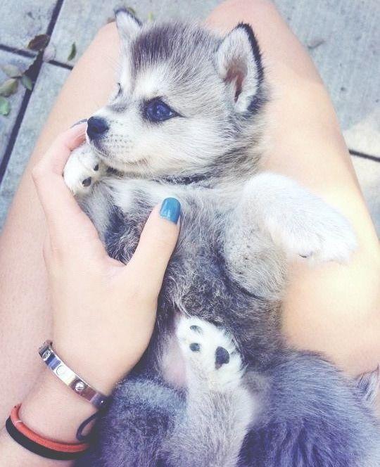 perrito husky en las piernas de sus dueños