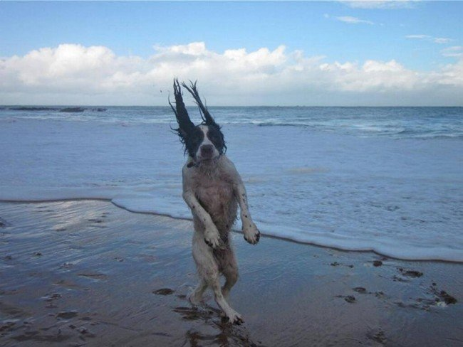 perro de orejas largas en la playa disfrutando de la humedad de la arena