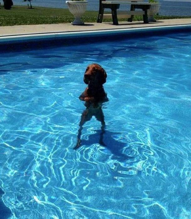 perrito parado en dos patas dentro de la alberca, mientras unos nadan el solo se para sobre la alberca