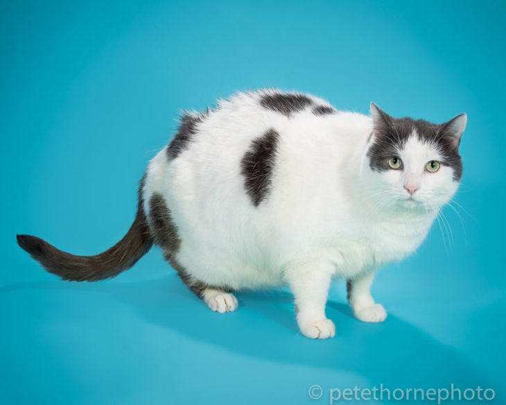 Gato gordo blanco con negro fondo azul