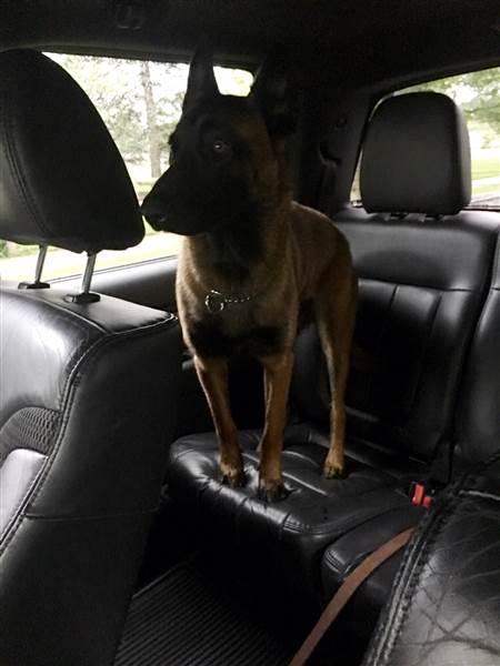 Perro pastor belga en la parte de atrás de una camioneta