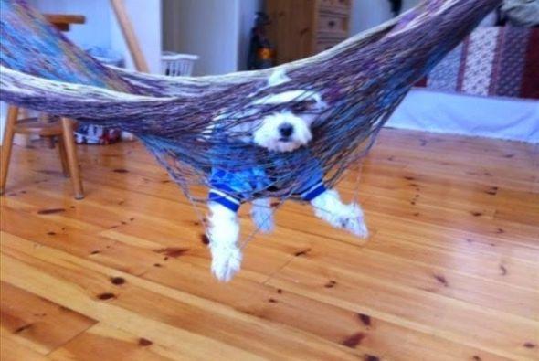 Perros traviesos -Perro atrapado en hamaca