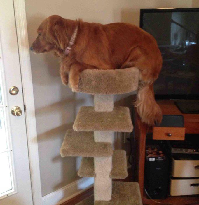 Perros traviesos - Perro en el juguete del gato