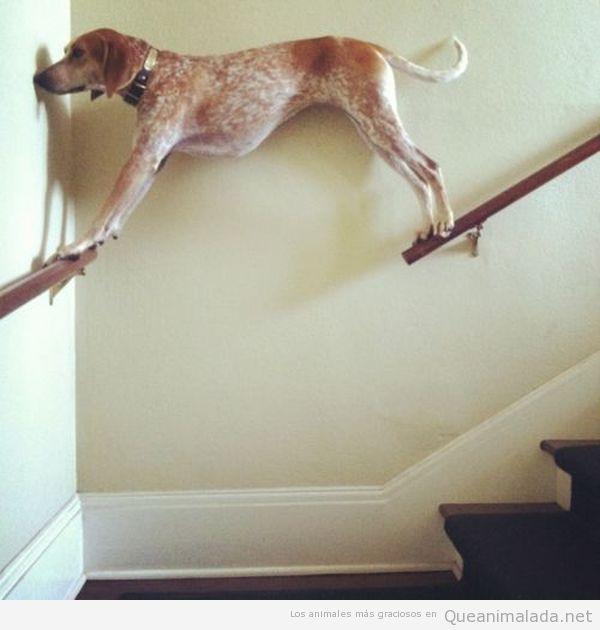 Perros traviesos - Perro bajando las escaleras por el barandal