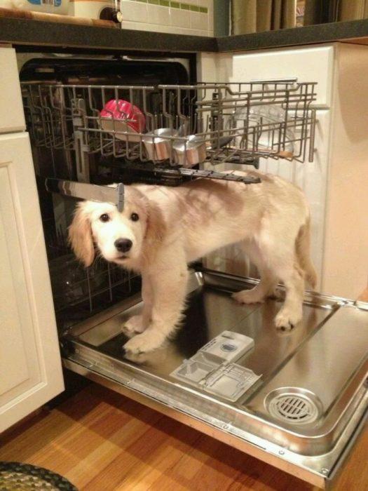 Perros traviesos - Perro adentro de lavadora de platos