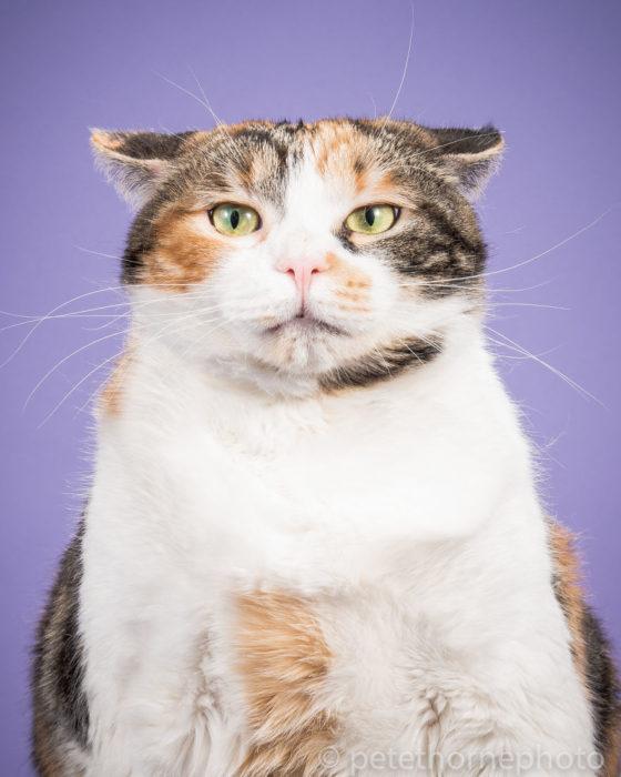 Gatos gordos - gato con ojos verdes fondo morado