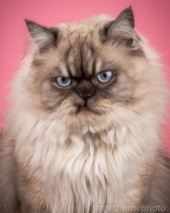 Gatos gordos - gato con cara de enojado en fondo rosa