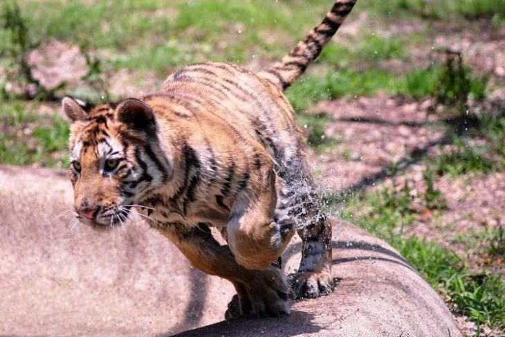 Tigre Aasha corriendo