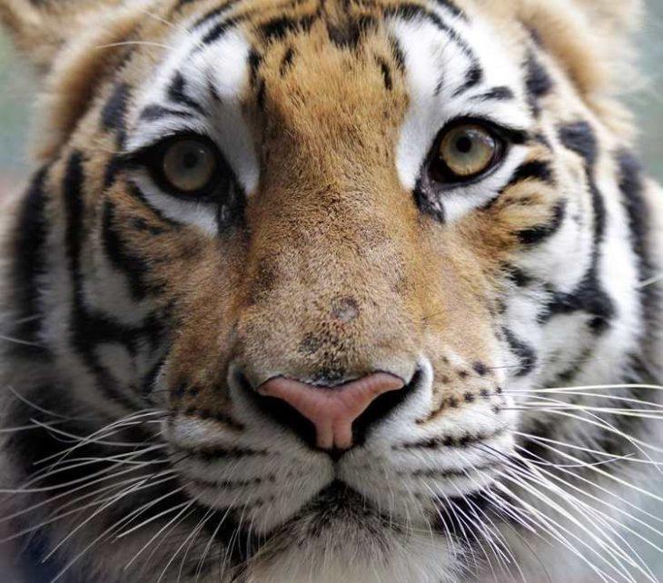 Tigre Aasha