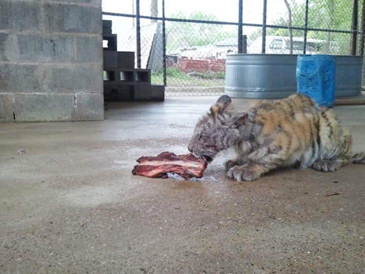Tigre Aasha en muy mal estado
