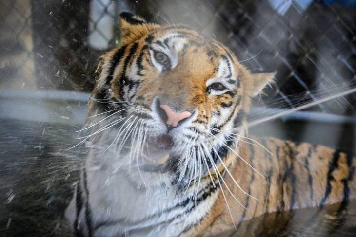 Tigre Aasha actualmente