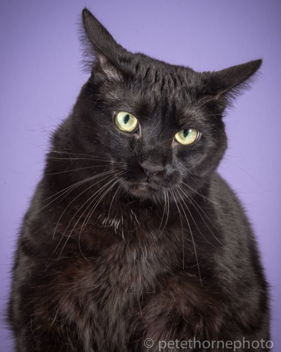 Gatos gordos - gato negro fondo morado