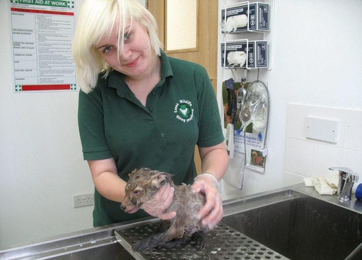 Rescatista lavando a un animal cubierto en lodo