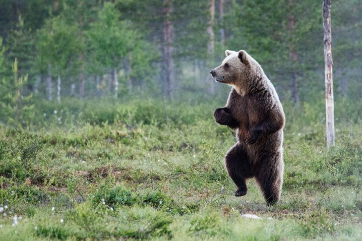oso parado en dos patas