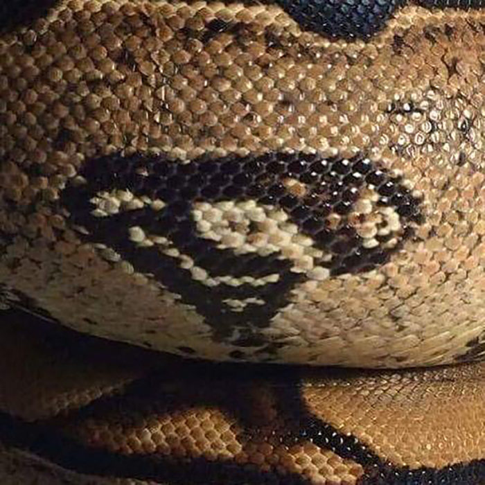 serpiente con mancha que parece logo de superman