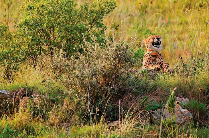 cheetah sonriendo