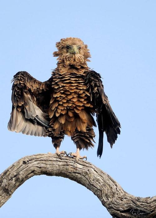 águila sobre una rama