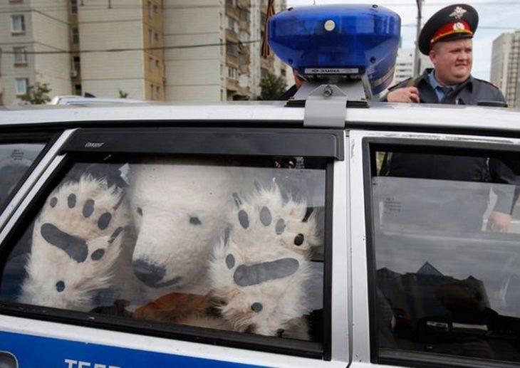 oso polar dentro de patrulla