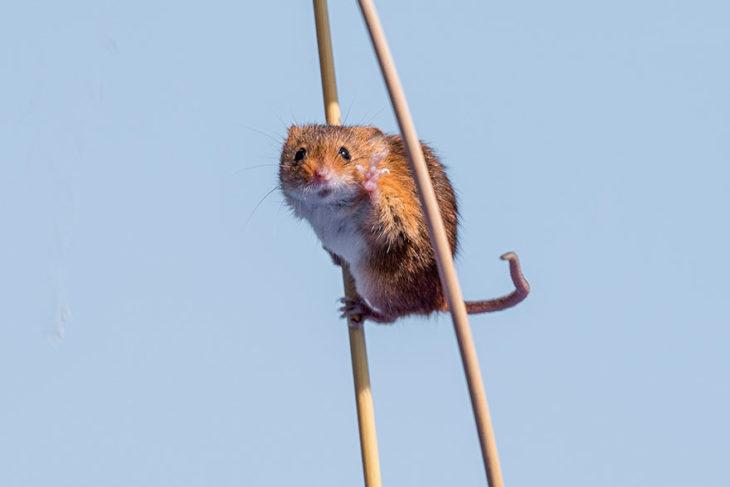 ratón sobre dos palillos que parecen zancos