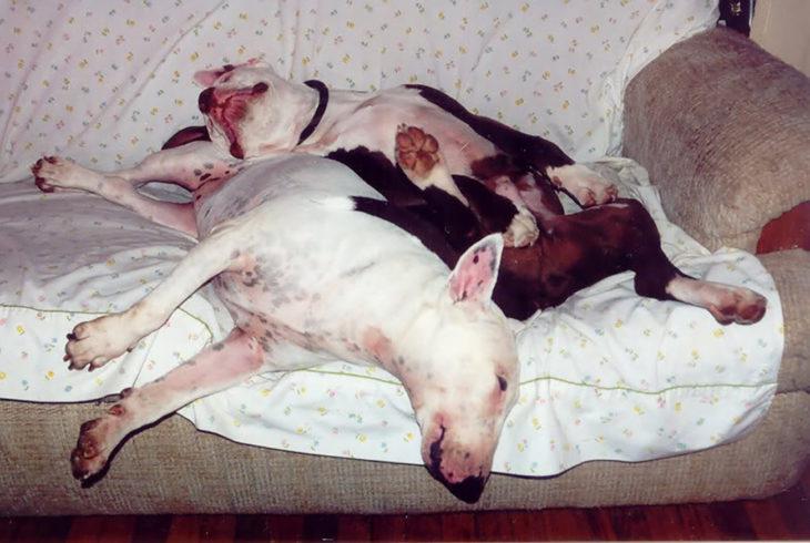 perritos acostados juntos