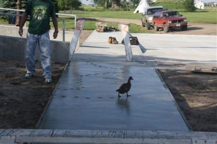 pato pisando cemento fresco