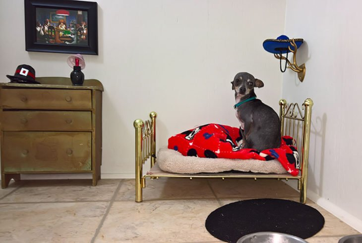 chihuahua en cama miniatura