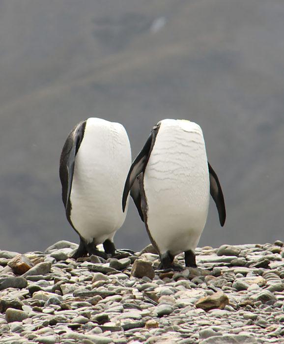 pingüinos cabeza oculta