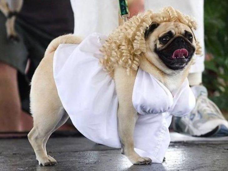 perro disfrazado de marilyn monroe