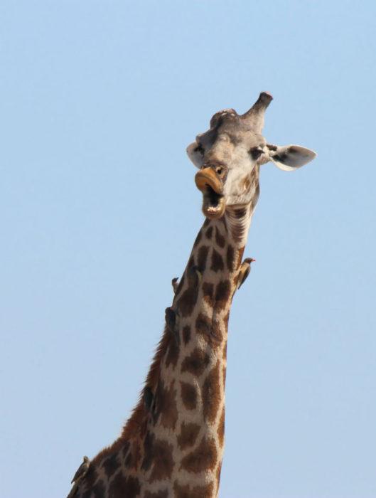 jirafa de boca grande