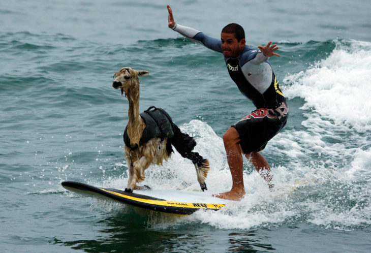 llama surfeando