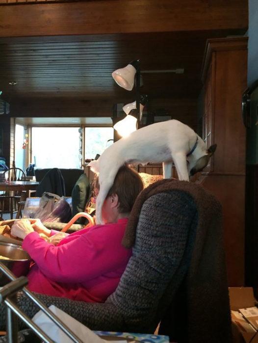 perro parado en la cabeza de su humana sobre un sillón