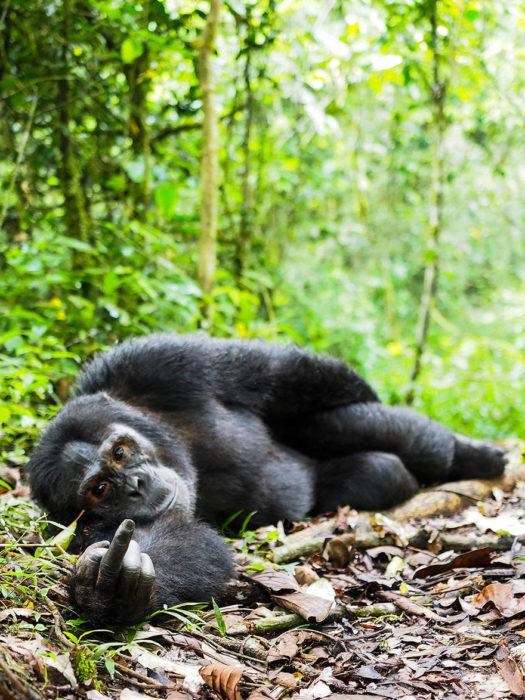 orangután parando el dedo de enmedio