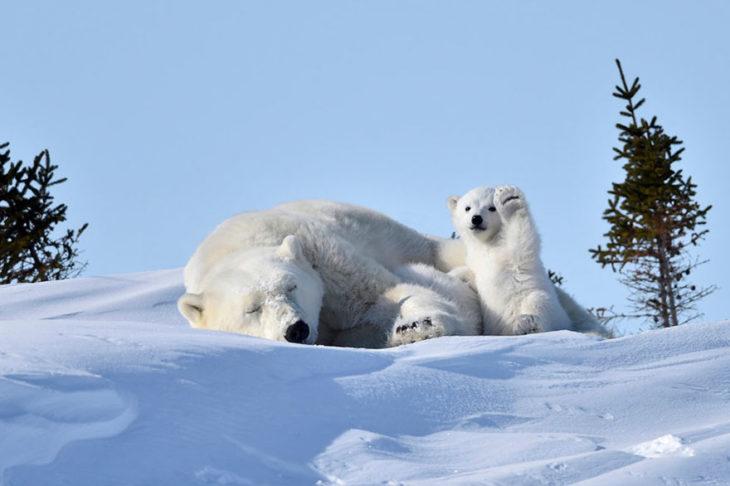 mama oso polar con cachorro oso polar levantando la patita