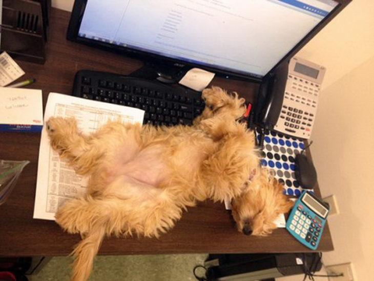 perrito encima de escritorio