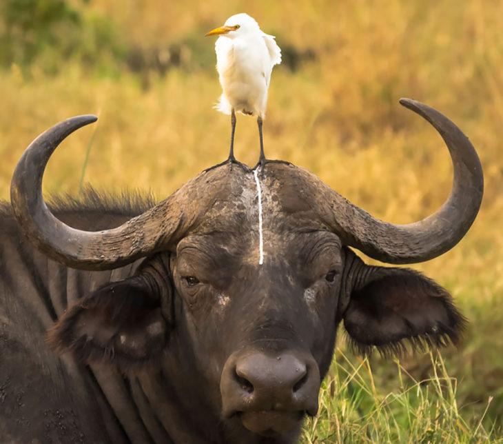 pájaro hace popó en cabeza de búflao