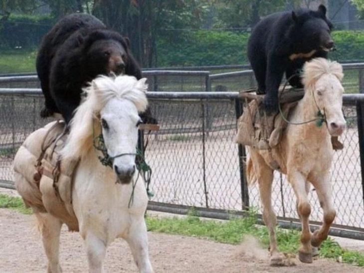 osos de jinetes de caballos