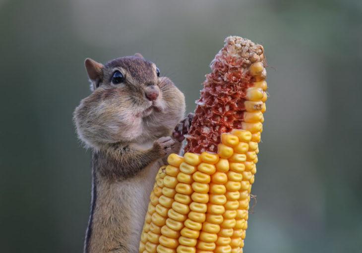 ardilla comiendo mazorca