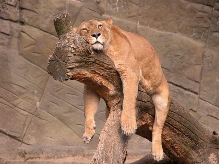 Leona dormida en una rama