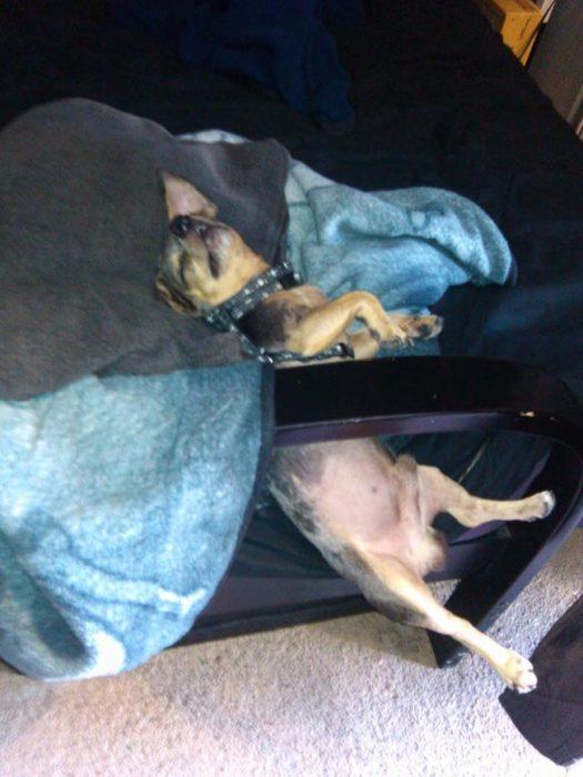 Perro casi se cae de la cama