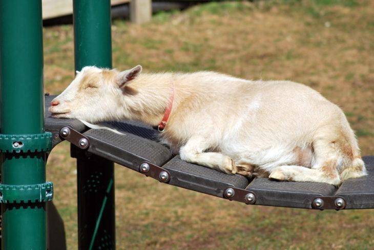 Cabra dormida en un puentecito