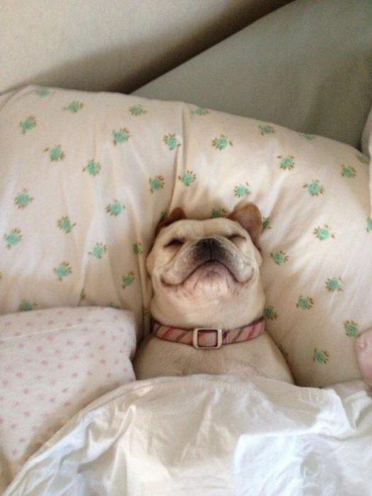 Pitbull inglés dormido en la cama