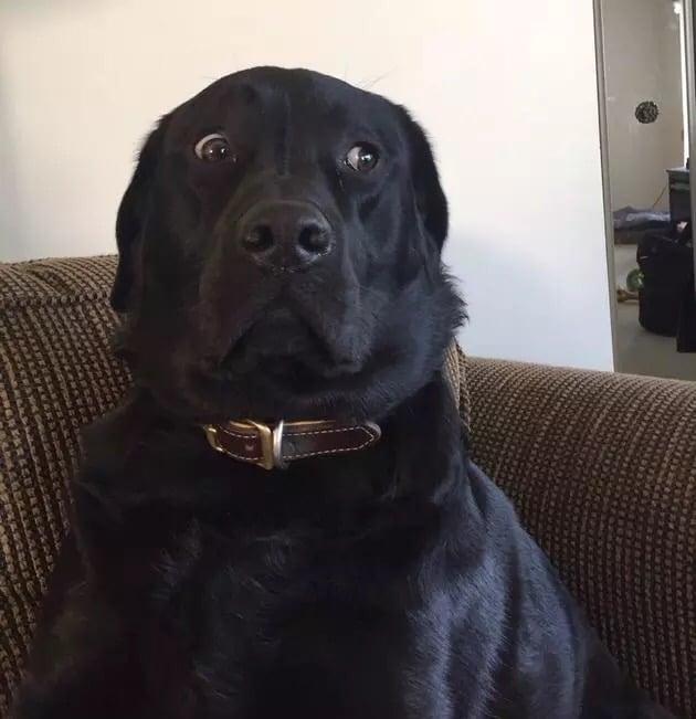 Foto Perro labrador con cara de assutado