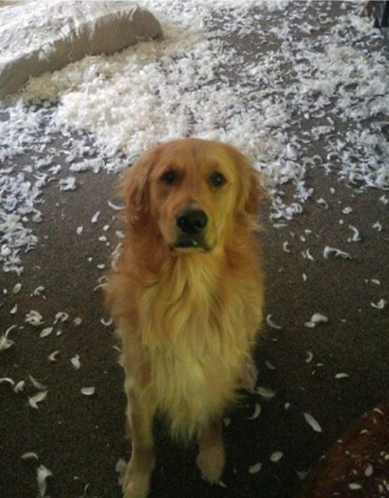 Perro destroza almohadas