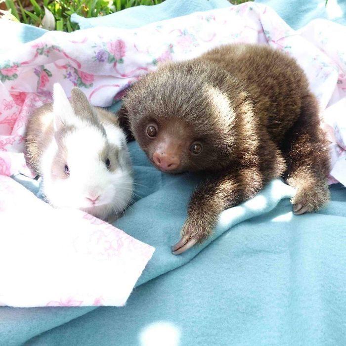 perezoso y conejo