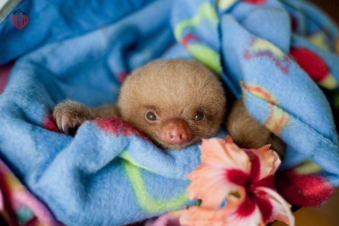perezoso bebe en una cobija