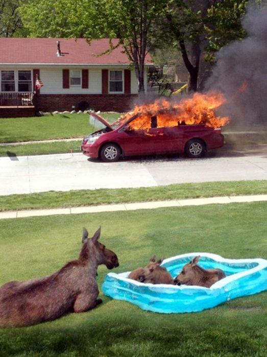 Fotos sin sentido - Canguros en una alberca de plástico y una camioneta se quema atrás