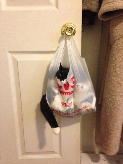 gato embolsado