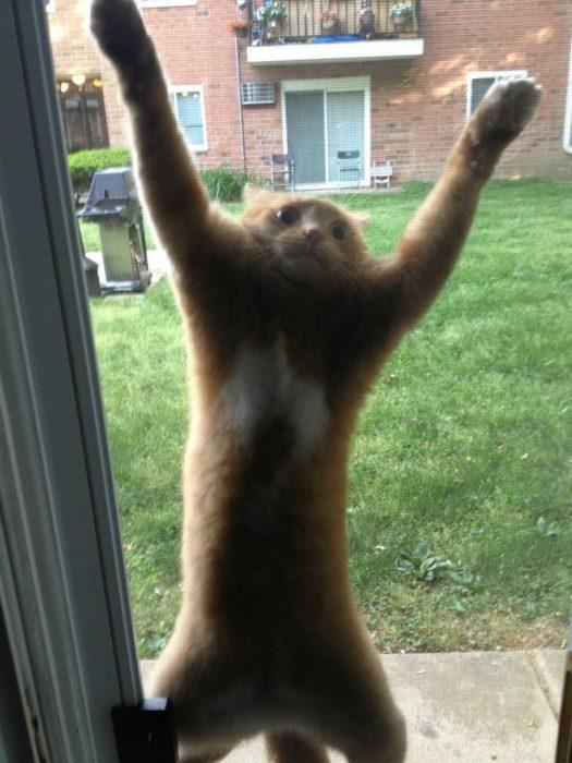 gato que se rinde