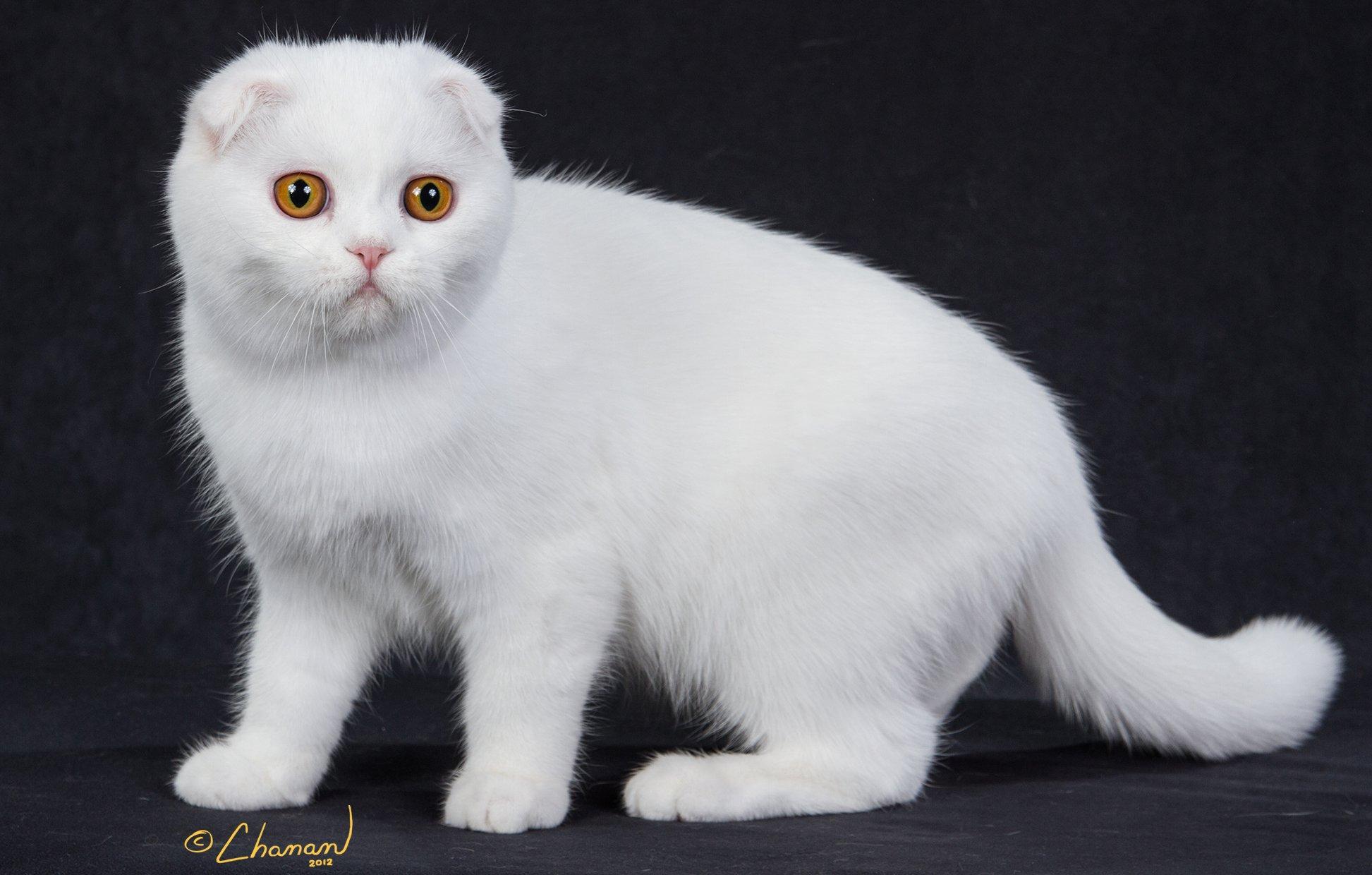 Munchkin Cat White With Green Eyes